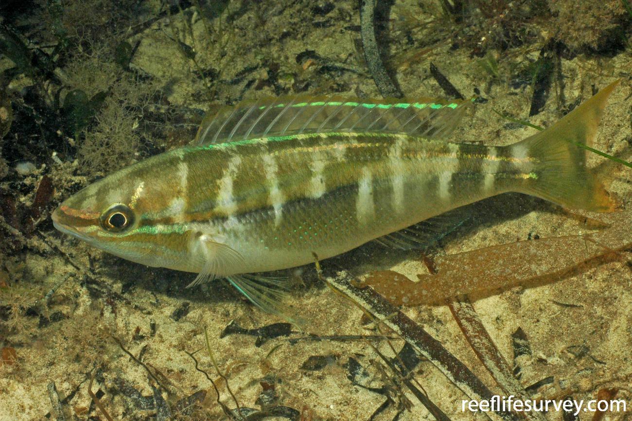 Pentapodus vitta, (Night Phase) Jurien Bay, WA, Australia,  Photo: Graham Edgar
