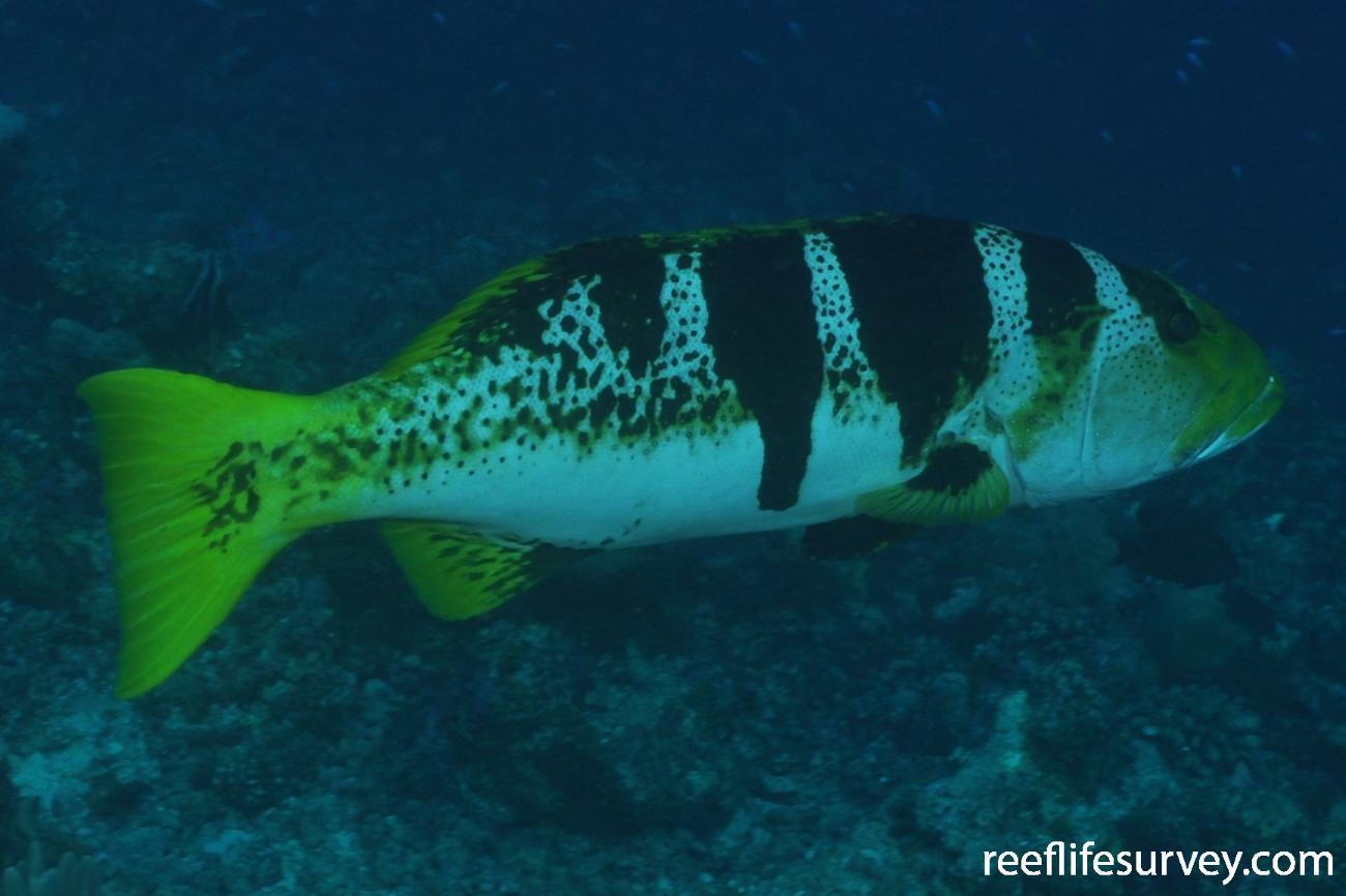 Plectropomus laevis, Footballer variation. Maldives,  Photo: Rick Stuart-Smith