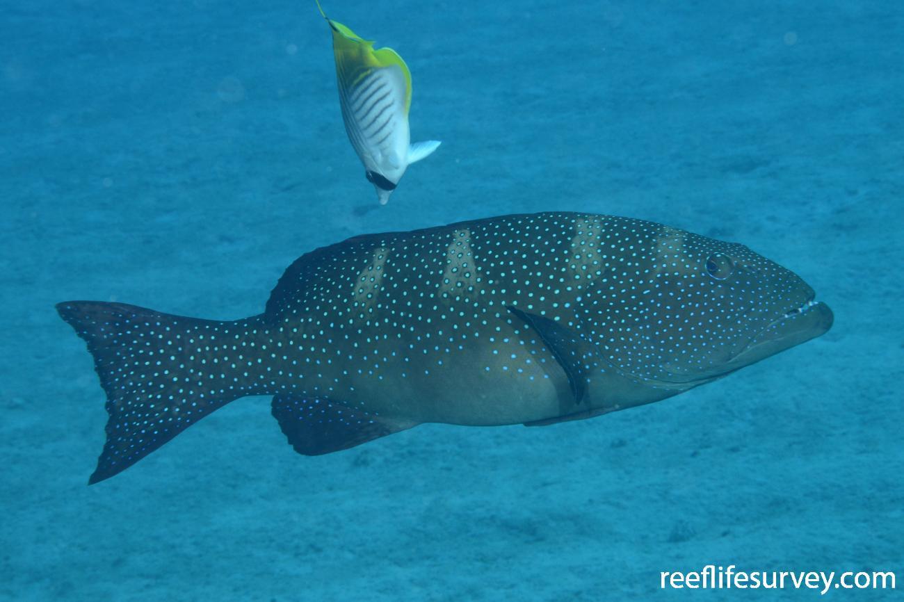 Plectropomus laevis, Coral Sea, Australia,  Photo: Graham Edgar