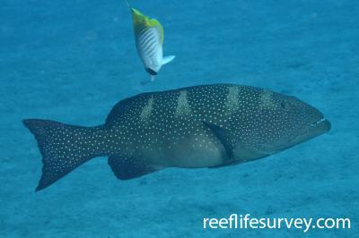 Plectropomus laevis: Coral Sea, Australia,  Photo: Graham Edgar