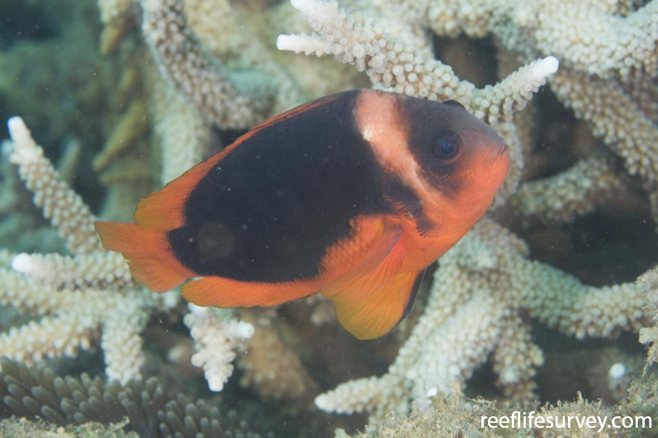 Amphiprion rubrocinctus, Adult, Exmouth, WA,  Photo: Andrew Green
