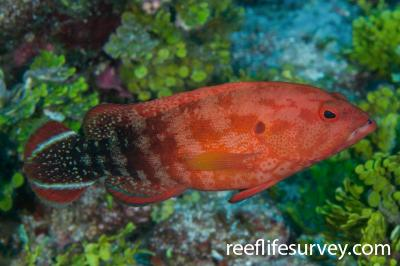 Cephalopholis urodeta: Ashmore Reef, Australia,  Photo: Rick Stuart-Smith