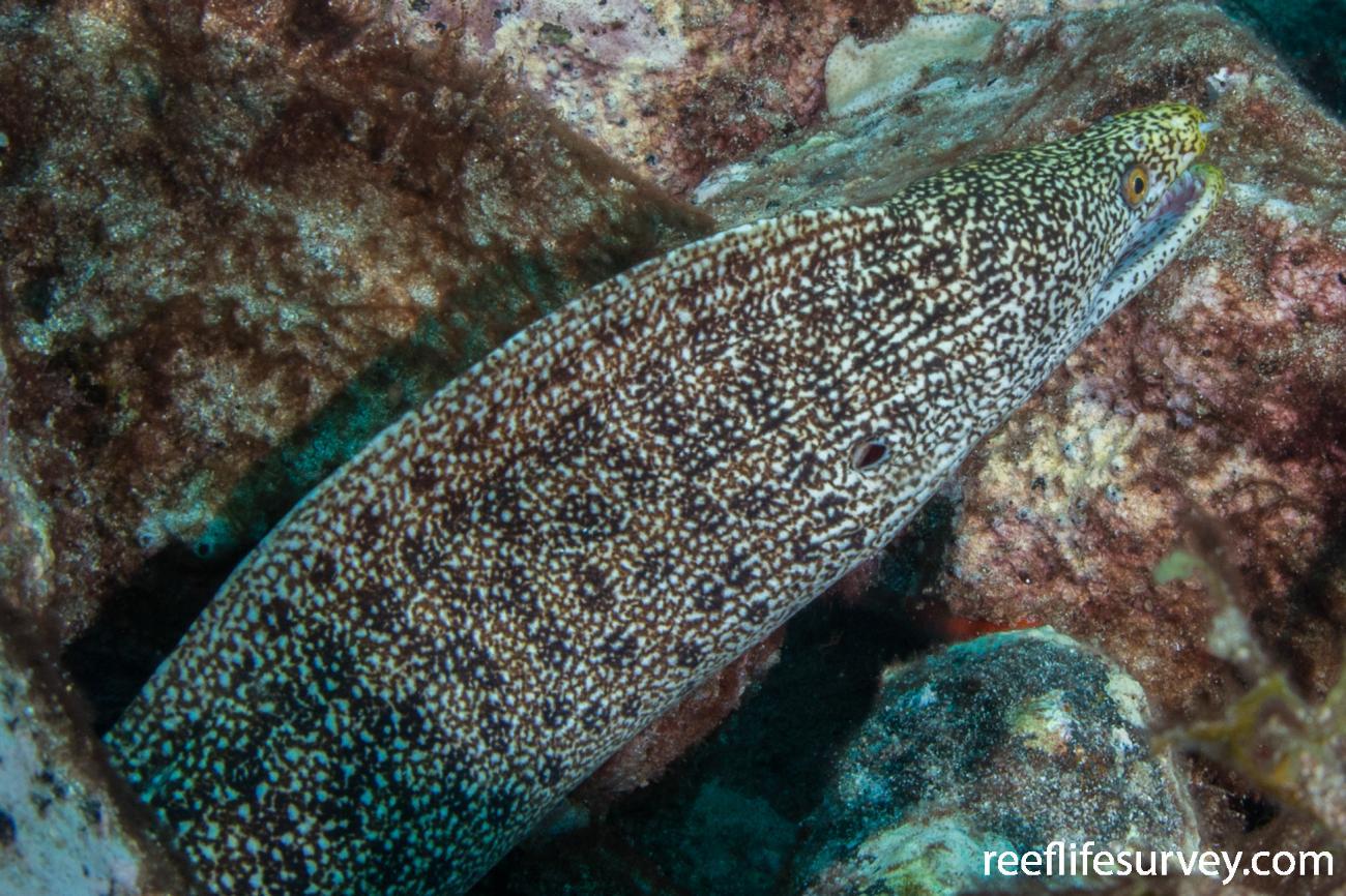 Gymnothorax eurostus,  Photo: Rick Stuart-Smith