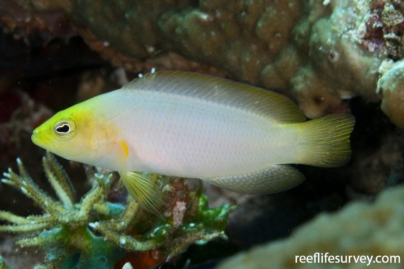 Pseudochromis fuscus, Raja Ampat, Indonesia,  Photo: Andrew Green