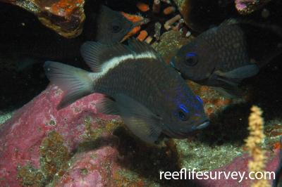 Chromis alta: Galapagos Islands, Ecuador,  Photo: Graham Edgar