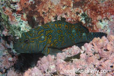 Cirrhitus rivulatus: Galapagos Islands, Ecuador,  Photo: Graham Edgar