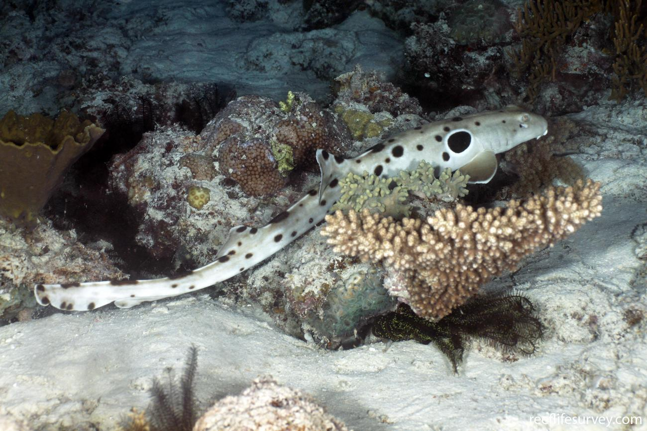Hemiscyllium ocellatum, Coral Sea, Australia,  Photo: Ian Shaw