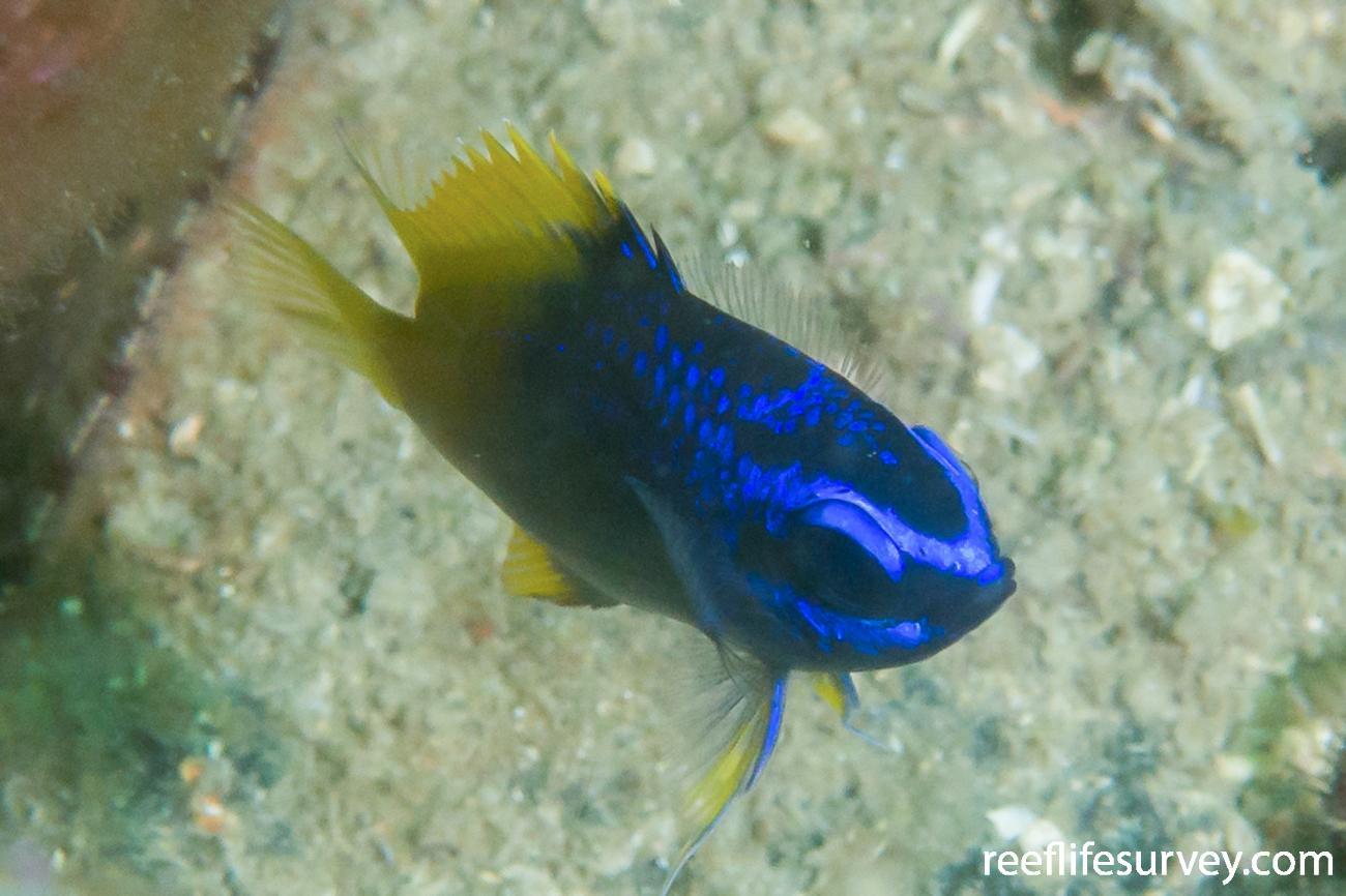 Chromis limbaughi, Juvenile, Gulf of California, Mexico,  Photo: Rick Stuart-Smith
