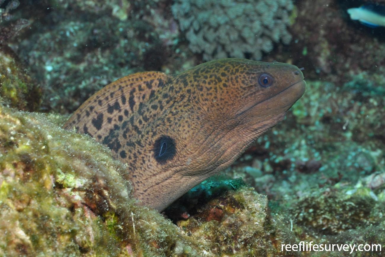 Gymnothorax javanicus, Juvenile, Great Barrier Reef, Townsville, Australia,