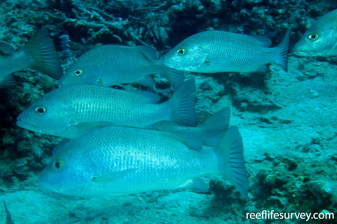 Lutjanus argentimaculatus, Adult, Gulf of Carpentaria, NT,  Photo: Andrew Green