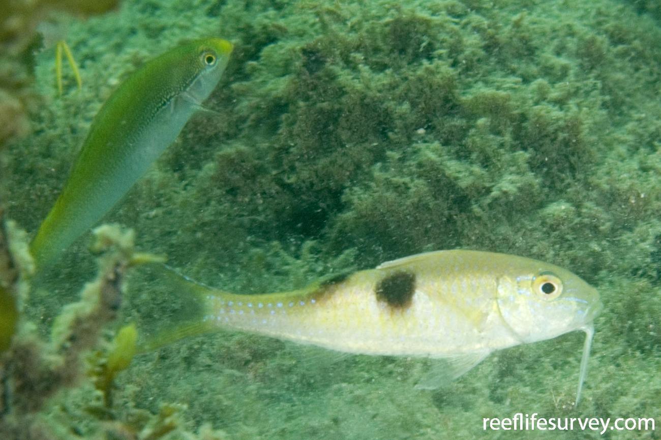 Parupeneus pleurostigma, Jervis Bay, NSW,  Photo: Andrew Green