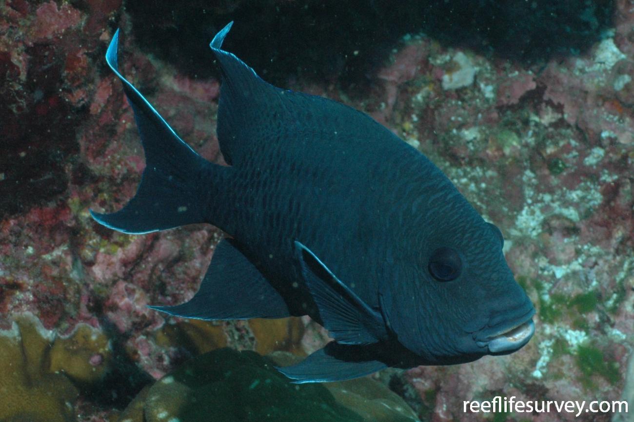 Microspathodon dorsalis, Cocos Island, Costa Rica,  Photo: Graham Edgar