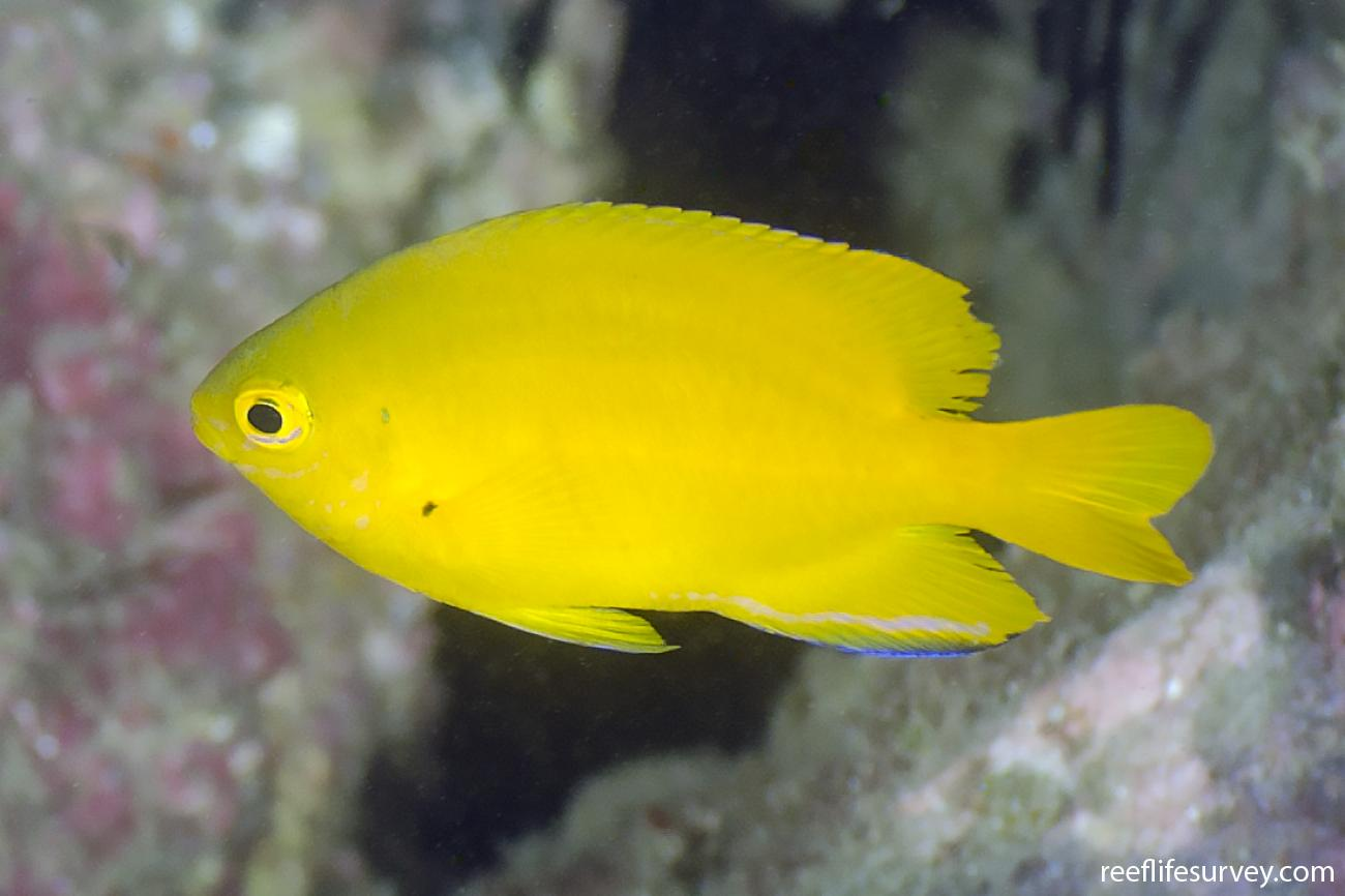 Pomacentrus moluccensis, Adult, NSW, Australia,  Photo: Ian Shaw