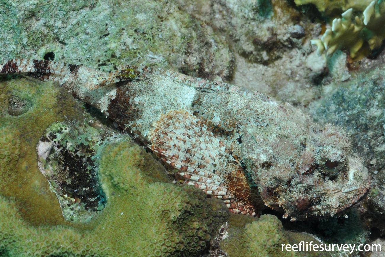 Scorpaena plumieri, Bonaire,  Photo: Rick Stuart-Smith