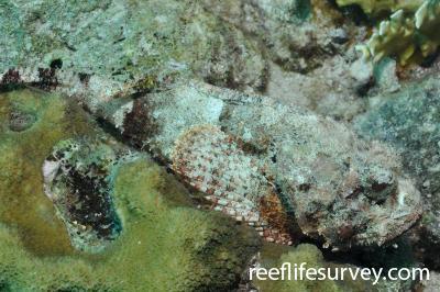 Scorpaena plumieri: Bonaire,  Photo: Rick Stuart-Smith