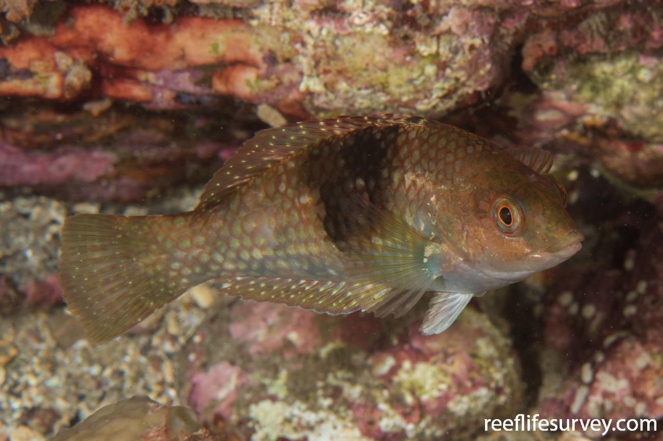 Notolabrus tetricus, Female, Rocky Cape, TAS,  Photo: Rick Stuart-Smith