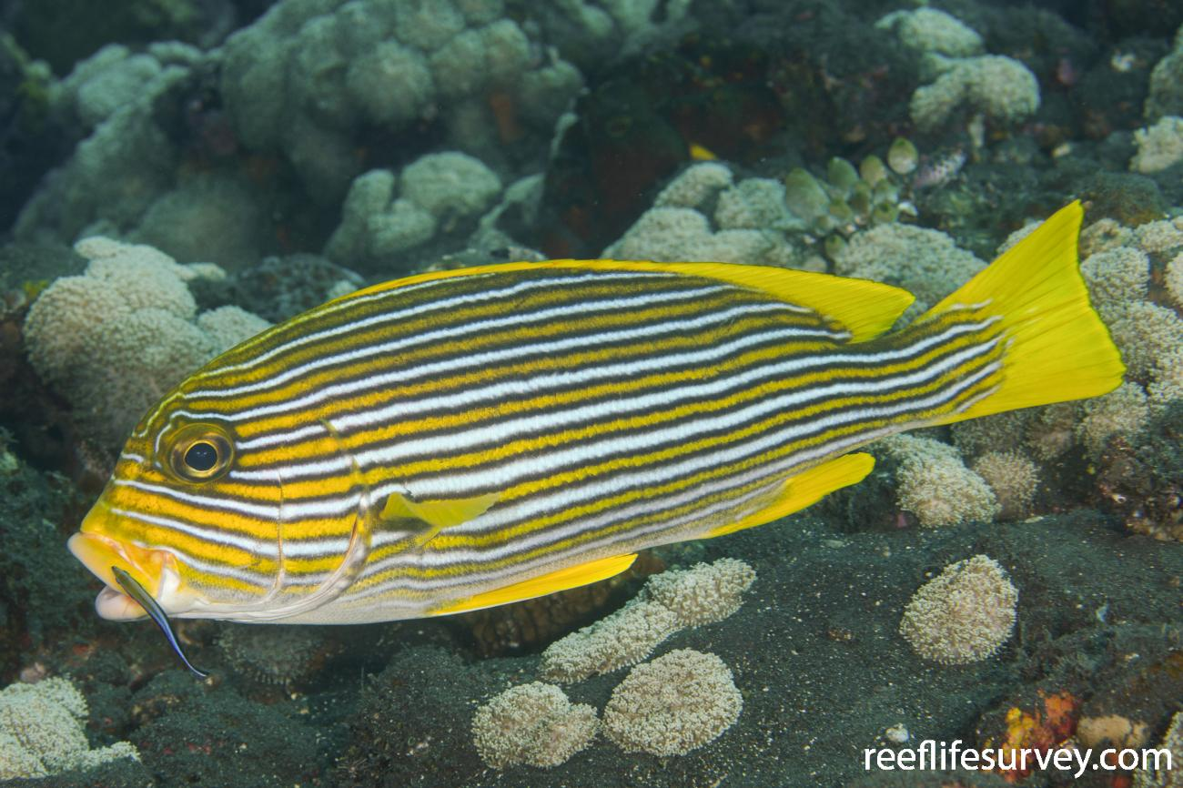 Plectorhinchus polytaenia, Adult, Bali, Indonesia,  Photo: Ian Shaw