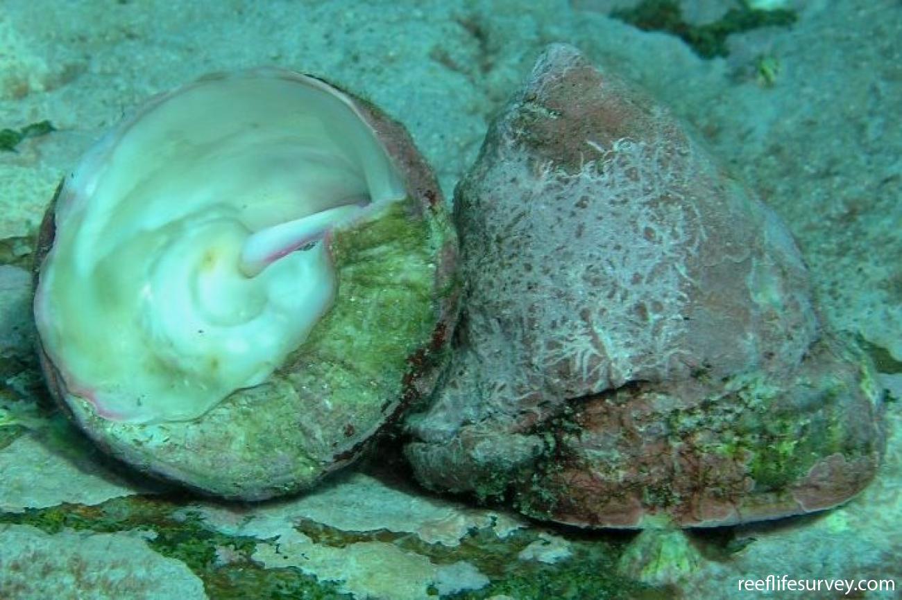 Astralium tentoriiforme, Port Stephens, NSW,  Photo: Tom Davis
