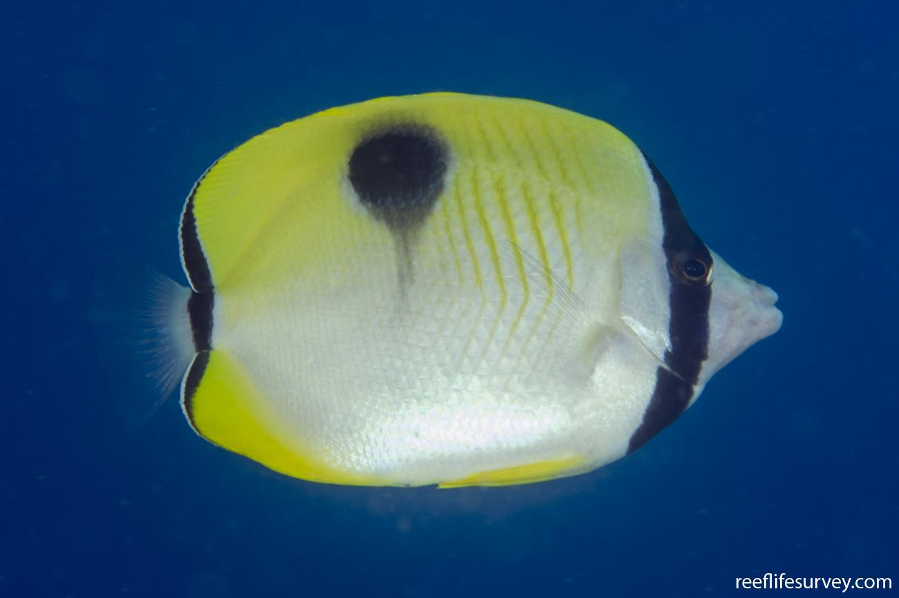 Chaetodon unimaculatus, Adult, NSW, Australia,  Photo: Ian Shaw
