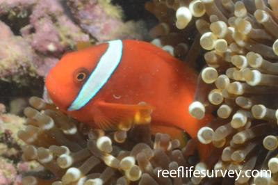 Amphiprion frenatus: Okinawa, Japan,  Photo: Graham Edgar