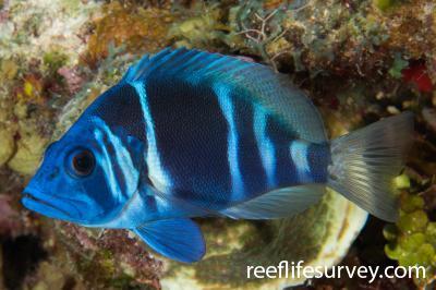 Hypoplectrus indigo: Belize,  Photo: Rick Stuart-Smith