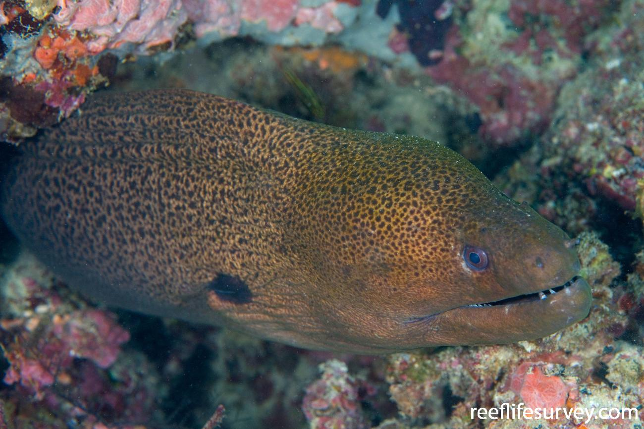 Gymnothorax javanicus, Naigani Is, Fiji,  Photo: Andrew Green