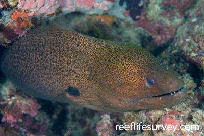 Gymnothorax javanicus: Naigani Is, Fiji,  Photo: Andrew Green