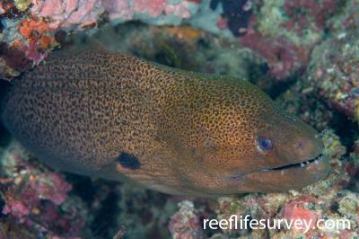 Gymnothorax javanicus: Naigani Is, Fiji,  Photo: Andrew Green