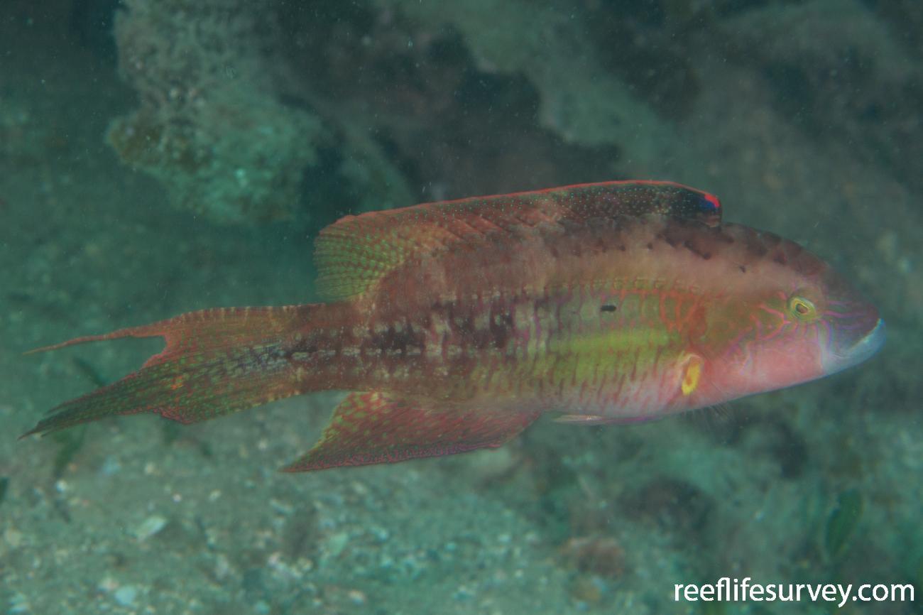 Oxycheilinus bimaculatus, NSW, Australia,  Photo: Rick Stuart-Smith