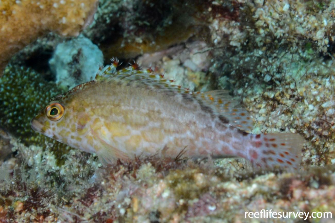 Cirrhitichthys oxycephalus, Raja Ampat, Indonesia,  Photo: Rick Stuart-Smith