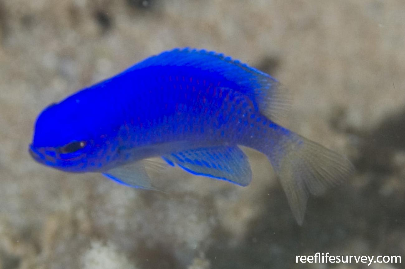 Pomacentrus coelestis, Murion Is, WA,  Photo: Andrew Green