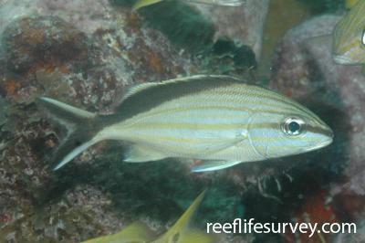 Haemulon melanurum: Florida Keys, USA,  Photo: Peter Mooney