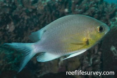Chromis cinerascens: Adult.  Photo: Rick Stuart-Smith