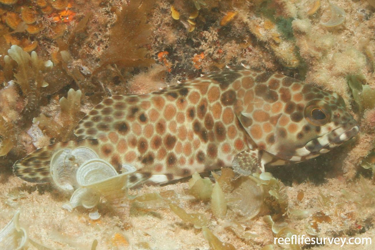 Epinephelus quoyanus, Dampier, Western Australia,  Photo: Rick Stuart-Smith