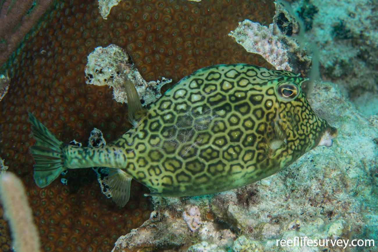 Acanthostracion polygonius, Turks & Caicos,  Photo: Rick Stuart-Smith