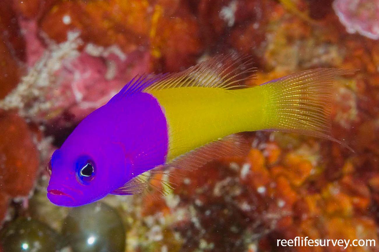 Pictichromis paccagnellae, North WA, Australia,  Photo: Andrew Green