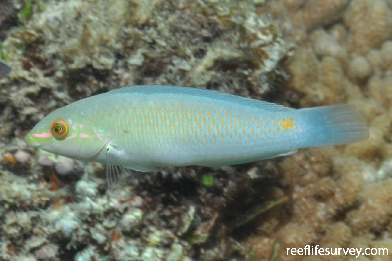 Halichoeres trimaculatus, Lord Howe Island, NSW, Australia,  Photo: Rick Stuart-Smith