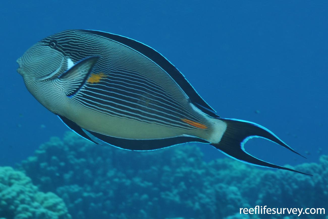 Acanthurus sohal, Marsa Alam, Egypt,  Photo: Rick Stuart-Smith