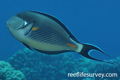 Acanthurus sohal: Marsa Alam, Egypt,  Photo: Rick Stuart-Smith