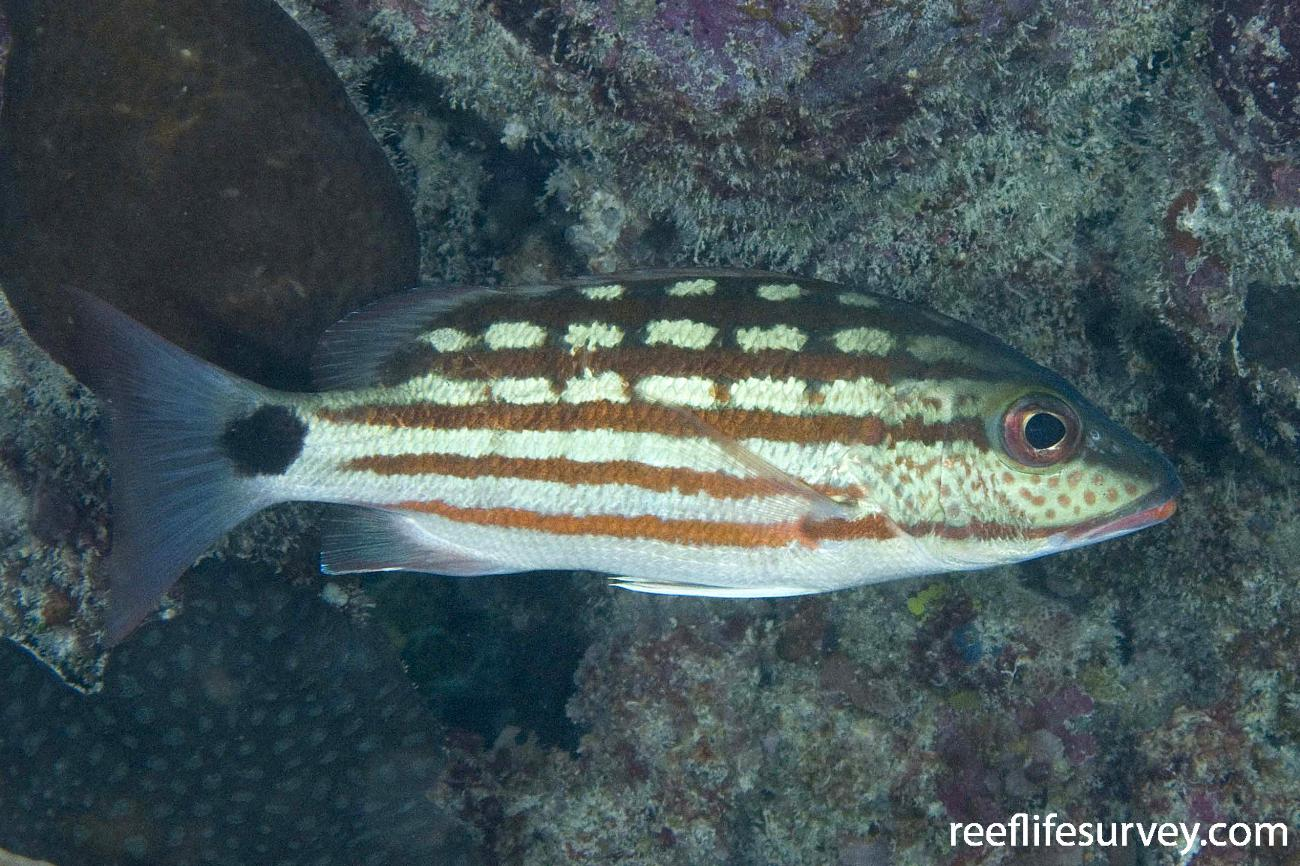 Lutjanus decussatus, North WA, Australia,  Photo: Andrew Green