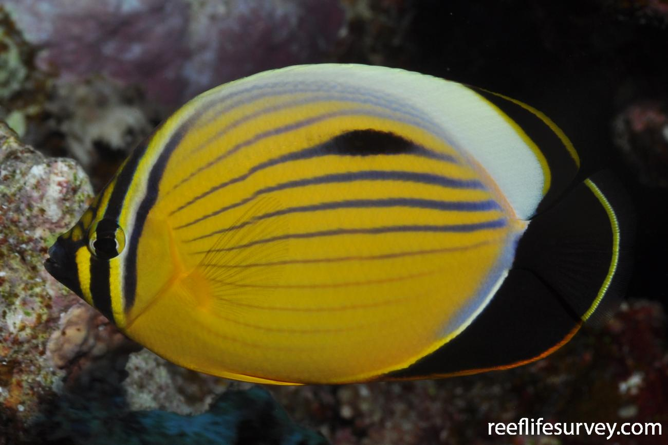Chaetodon austriacus, Marsa Alam, Egypt,  Photo: Rick Stuart-Smith