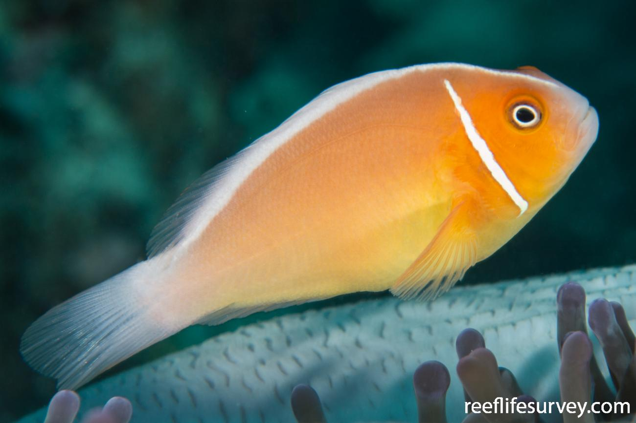 Amphiprion perideraion, Adult.  Photo: Rick Stuart-Smith