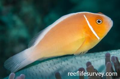 Amphiprion perideraion: Adult.  Photo: Rick Stuart-Smith