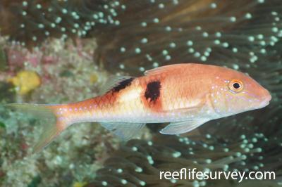 Parupeneus pleurostigma: Adult, NSW, Australia,  Photo: Ian Shaw