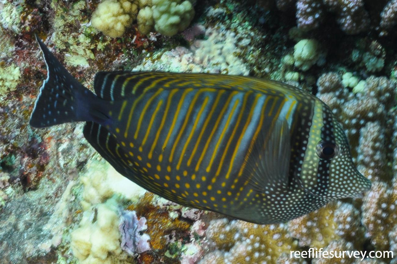 Zebrasoma desjardinii, Red Sea,  Photo: Rick Stuart-Smith