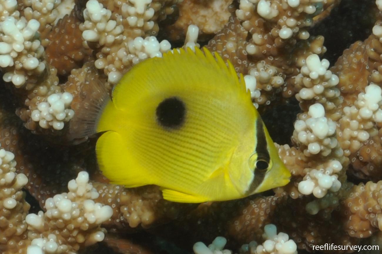 Chaetodon zanzibarensis, Juvenile, Seychelles,  Photo: Rick Stuart-Smith