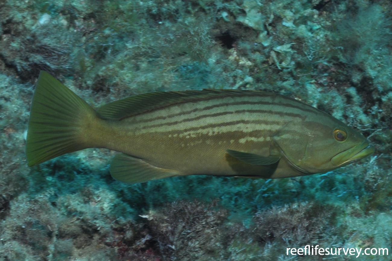 Epinephelus costae, Mallorca, Spain,  Photo: Rick Stuart-Smith
