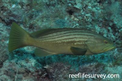 Epinephelus costae: Mallorca, Spain,  Photo: Rick Stuart-Smith