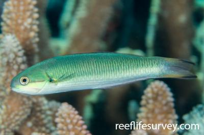 Thalassoma amblycephalum: Female, Coral Sea, Australia,  Photo: Rick Stuart-Smith