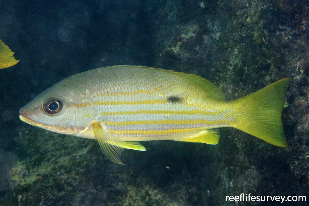 Lutjanus fulviflamma, Dampier, WA,  Photo: Andrew Green